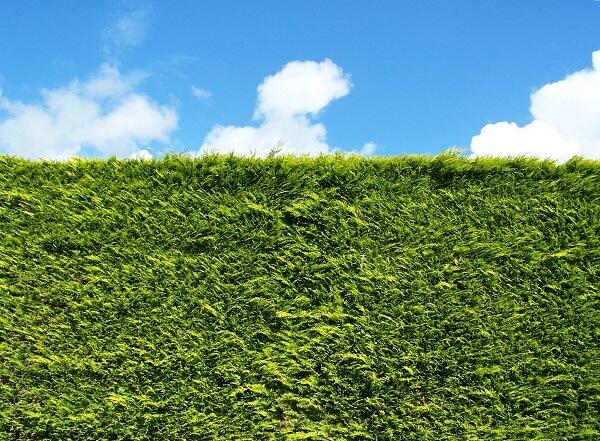 Front garden hedge